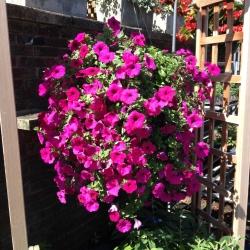 Cossairt Florist Llc Wave Petunia Hanging Basket Purple