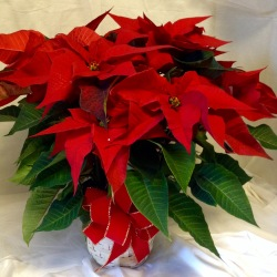 Red Poinsettia in White Basket -7 inch