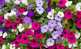 12 Inch Annual Hanging Basket