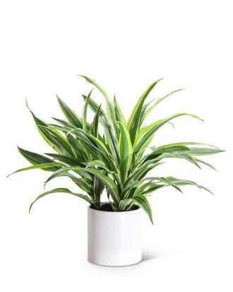 Dracaena Lemon Lime Plant