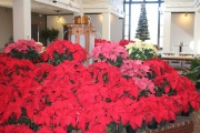 Daltons Poinsettias