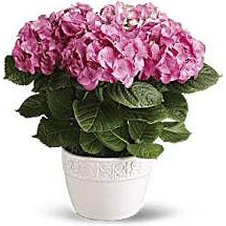 Blooming Hydrangea planter