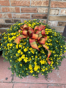 Hardy Mum Plant