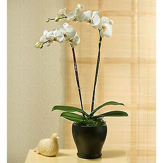 Double Stem Orchid
