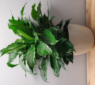 Athens Peace Lily