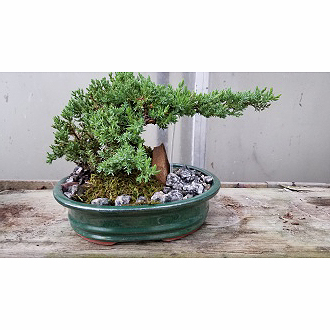 Swan Floral Gift Shop Inc Juniper Bonsai Tree Erlanger Ky 41018 Ftd Florist Flower And Gift Delivery