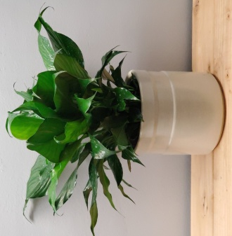 Banded Peace Lily