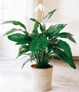Spathiphyllum small