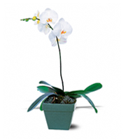 Flowers By Bauers Phalaenopsis Orchid Plant