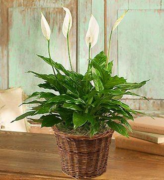 Spathiphyllum Floor Plant for Sympathy