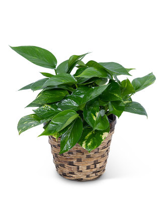 Pothos Plant in Basket