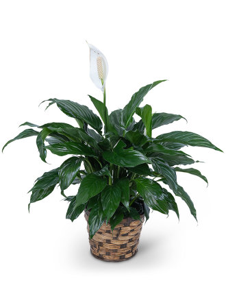 Peace Lily Plant