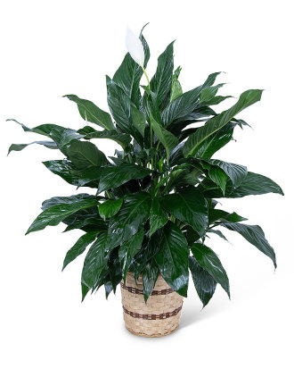 Medium Peace Lily Plant