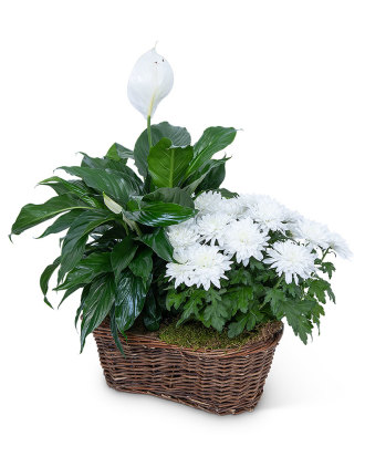 Peace Lily with White Mum Plant