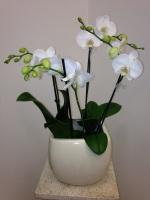 WHITE ORCHID 4-STEM PLANT