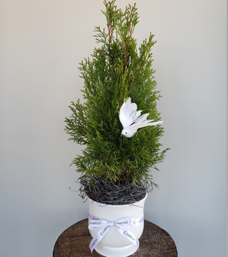 Living Memorial Evergreen Tree To Plant Outdoors