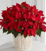 For a Long Lasting Holiday Gift Idea, Send this large RED POINSETTIA plant in a white basket for Christmas, Sunnyslope Floral, Certified Florist