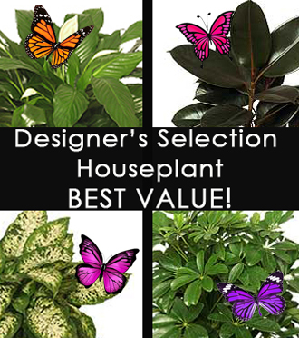 DON'T KNOW WHAT TO SEND? Choose Our  Moderate Designers Selection Houseplant!