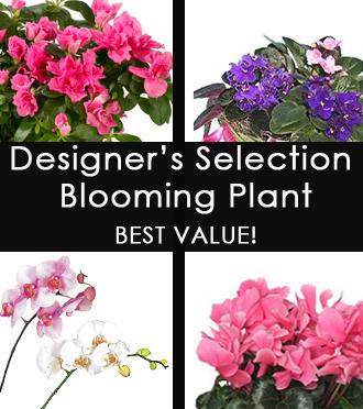 PREMIUM DESIGNER'S SELECTION Blooming Plant - BEST VALUE!