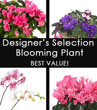 MODERATE DESIGNER'S SELECTION Blooming Plant - BEST VALUE!