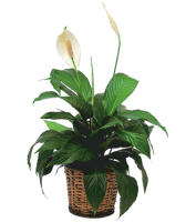 Send peace lily plants for same day delivery to the funeral home, home address or business and other sympathy gift ideas from Sunnyslope Floral