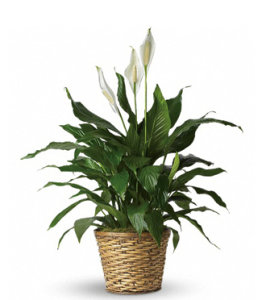 Peace Lily - Peace Flower Plant
