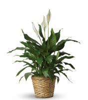 Peace Lily - Peace Flower Plant