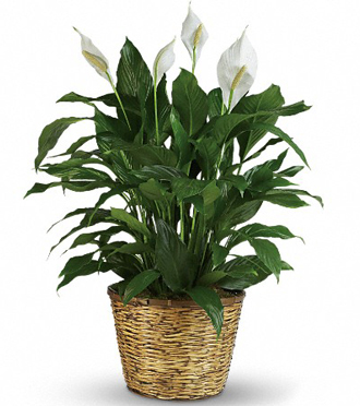 Order and send peace lily plants and other sympathy gifts to funeral homes or home addresses in Grand Rapids or Holland Michigan with Sunnyslope Floral