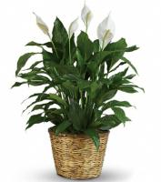 Peace Lily Plant - A Grand Rapids Area Favorite