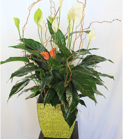 Designer Styled Peace Lily Plant  In Keepsake Decorative Pot