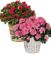 Azalea Plant In A Basket - Long Lasting & Easy Care