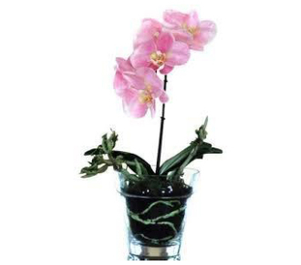 Orchid in glass