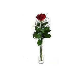 single rose in a vase