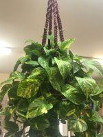 Hanging Golden Pothos