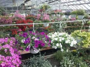plants, hanging, baskets,