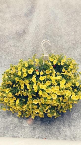 YELLOW GARDEN PLANT