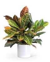 Croton Petra Plant