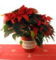 Poinsettia In A Happy Holidays Tin