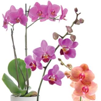 """5"""" Orchids in Ceramic Pot"""