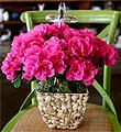 Azalea Plant With Cross
