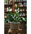 Marbled Peace Lily