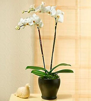 Two stems Phaleonopsis Orchid Plant in pot