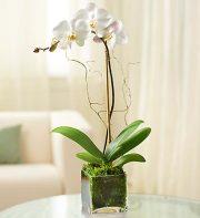White Phalaenopsis Orchid