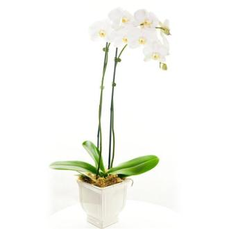 Orchid Plant Deluxe