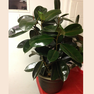 Green Plant Rubber Tree Plant