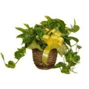 Divine Devil's Ivy (Pothos) In a Basket