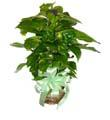 Divine Pothos-on-a-Pole Basket