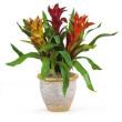 Triple Bromeliad Plant