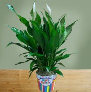 Peace Lily Birthday