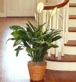 Peace Lily Floor Plant